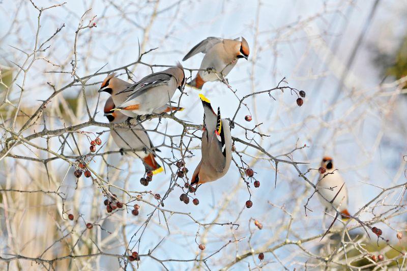 природа, птицы, свиристели Свиристелиphoto preview