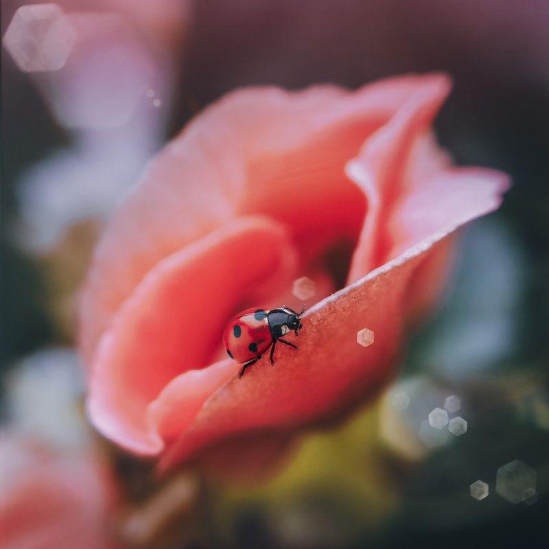 макро, арт,природа ,насекомые Розовый райphoto preview