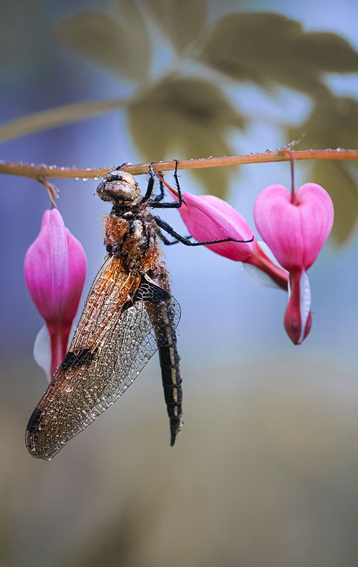 природа, макро, насекомое, стрекоза, цветок, дицентра Дела сердечныеphoto preview