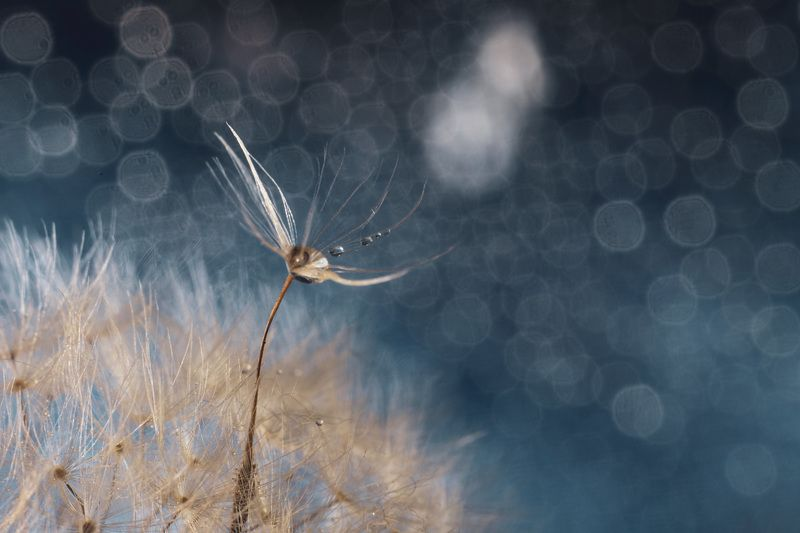 dandelion,close-up,outdoors,nature,freshness,dandelion,selective focus,colored background,blue background,no people,flower,drop,water,bokeh,art,helios Leaving the spiritphoto preview