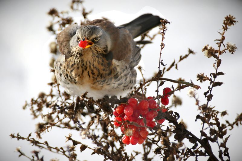 птицы, дрозд рябинник, клюв, калина, ягоды, Дрозд рябинник на обеде.photo preview