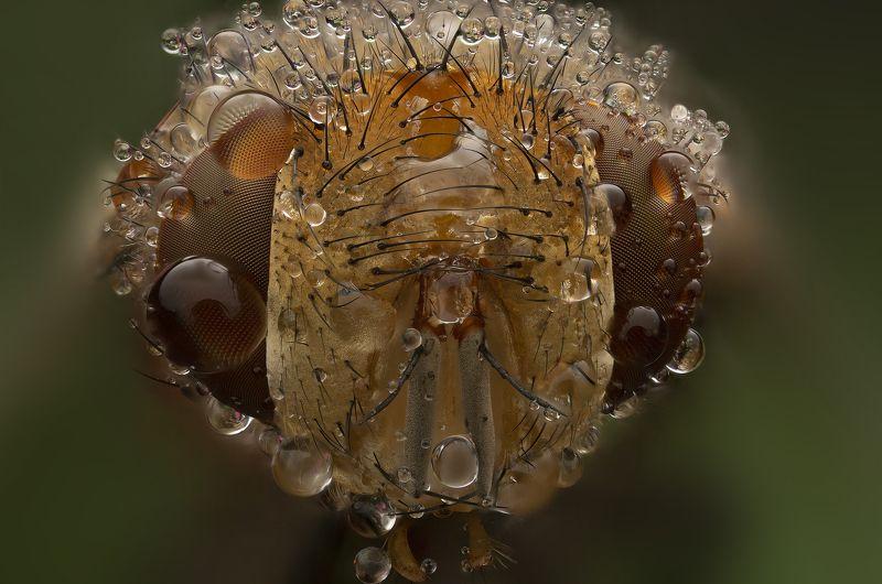 макро, насекомые, муха, капли, природа макропортрет мухиphoto preview