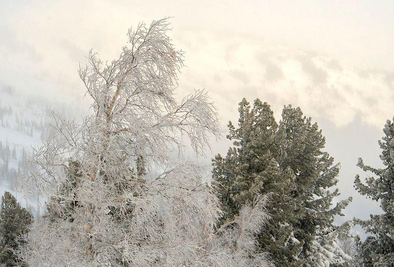береза, ветки берёзы, иней, мороз, зима, облачность, туман, гора зелёная, шерегеш, горная шория, сибирь Diamonds are a girl\'s best friend ;)photo preview