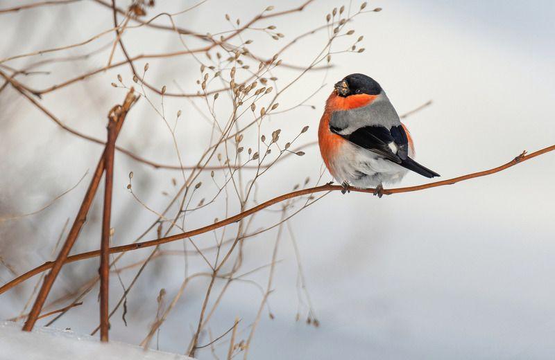 птица снегирь зима Вестник зимыphoto preview