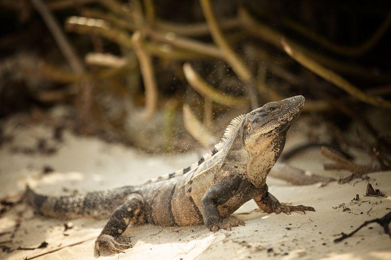 игуана Канкун Мексика пляж песок солнце Mexico iguana sun sand Игуана .Канкунphoto preview