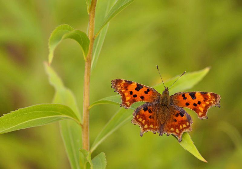 Бабочка Углокрыльница  Углокрыльница на золотарникеphoto preview