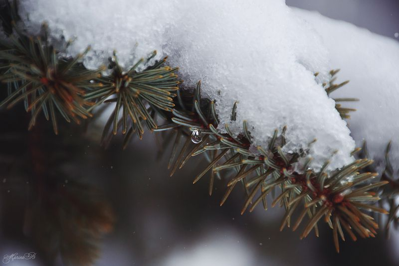 снег, ель, туя, зима Снежно-сахарныйphoto preview