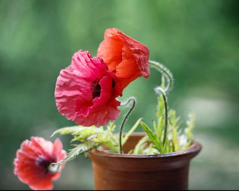 маки о любви ,аромат души,нежность цветов, ирина горюкина ,беларусь аромат душиphoto preview