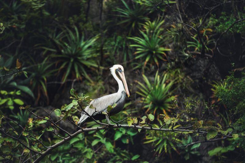 Мексика каньон Сумидеро пеликан Mexico Mexico pelican canyon Пеликанphoto preview