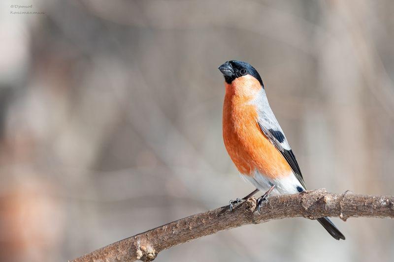 снегирь, птицы, фотоохота Краснопузыйphoto preview