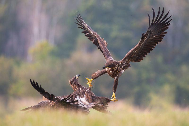 Eagle fightphoto preview