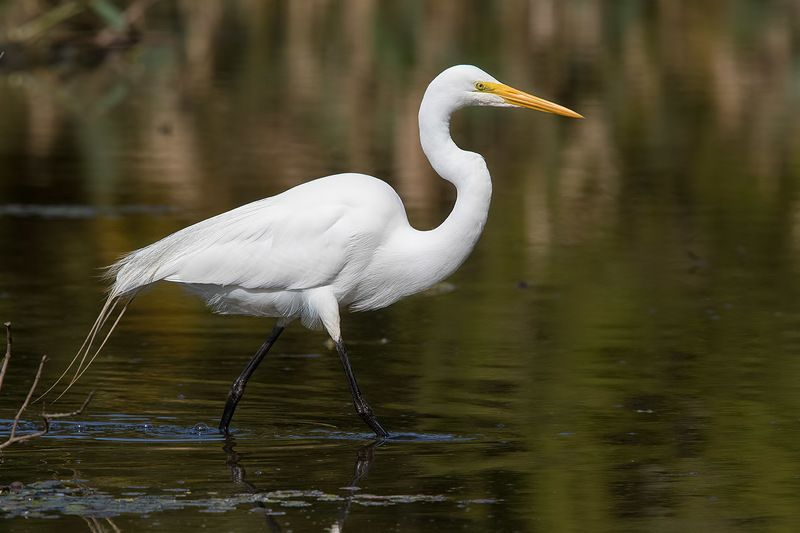 птицы, уругвай Большая белая цапляphoto preview