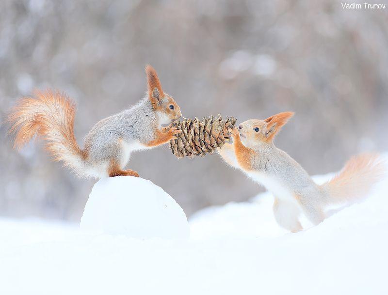 белка, шишка, squirrel ***photo preview