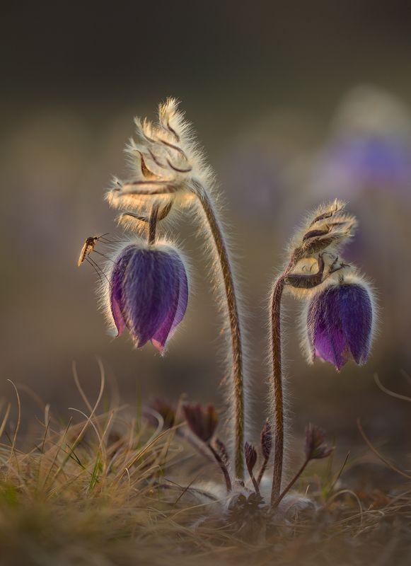 нерюнгри, прострел, якутия, сон-трава, комар, весна А в руках его горит...маленький фонарик!photo preview