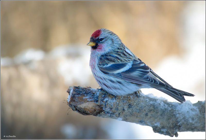 птица,чечётка,зима Чечёткаphoto preview
