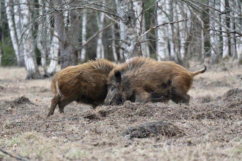 лес,животные,кабаны поединокphoto preview