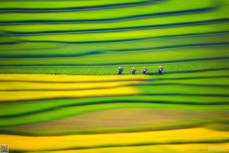 quanphoto, fine_art, rice, terrace, farmland, agriculture, harvest, painting, people, farmers, vietnam Rice Terraces Paintingsphoto preview