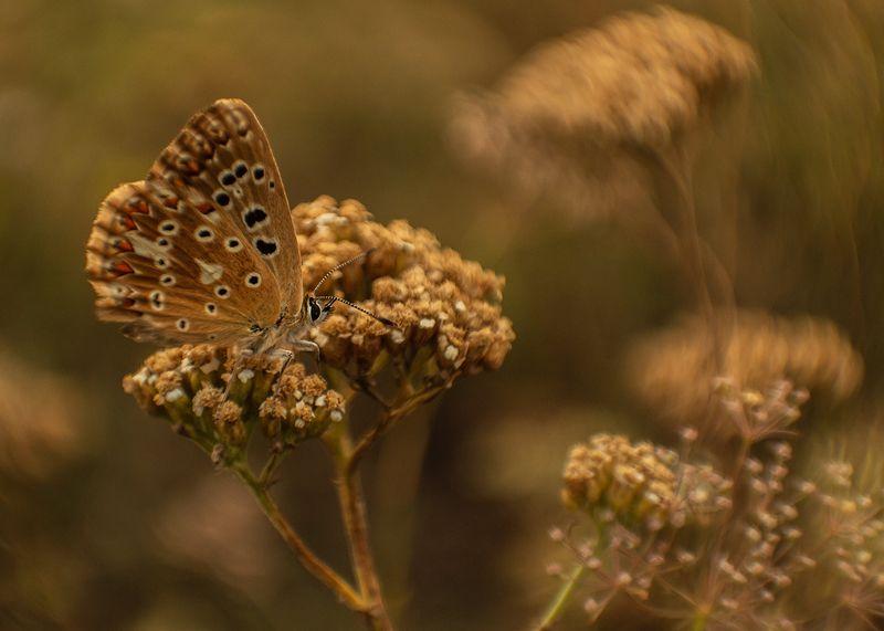 макро, бабочка, голубянка Мимикрияphoto preview