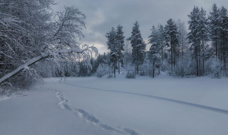 зима, декабрь, снег, лес, деревья, сосны, следы Хмурый декабрьphoto preview