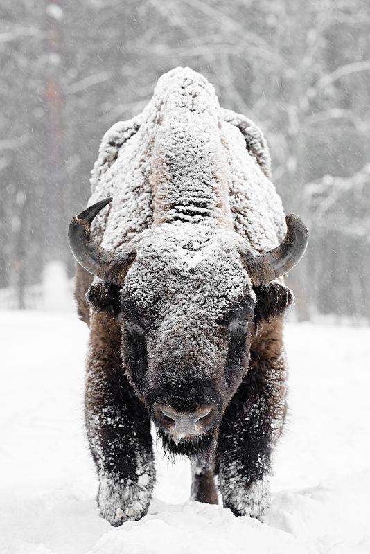 калужскиезасеки, засеки, фотосъемка, фототурвыходногодня, турвыходногодня, туризм, зубр, заповедник, зубковигорь, осень, животные, живаяприрода, природа, приключения, animal, wildanimals, wildlifephotography, wildlife, europeanbison, bison, nikon, natgeo, Взглядphoto preview