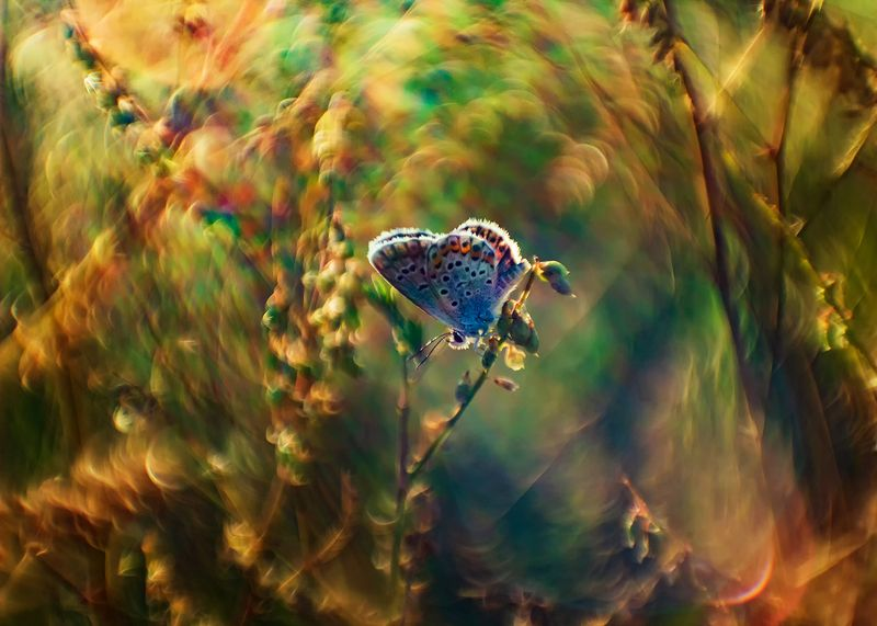 макро, бабочка, голубянка, боке ***photo preview
