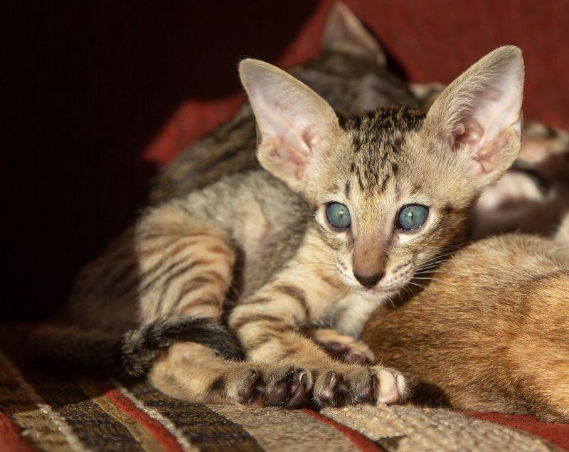 кот, ориентал, котенок Ушастик:)photo preview