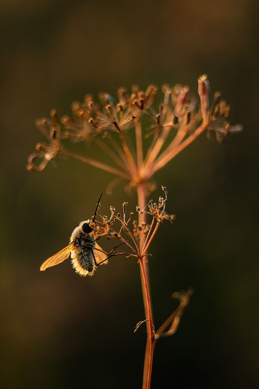 макро, насекомые, муха жужжало ***photo preview