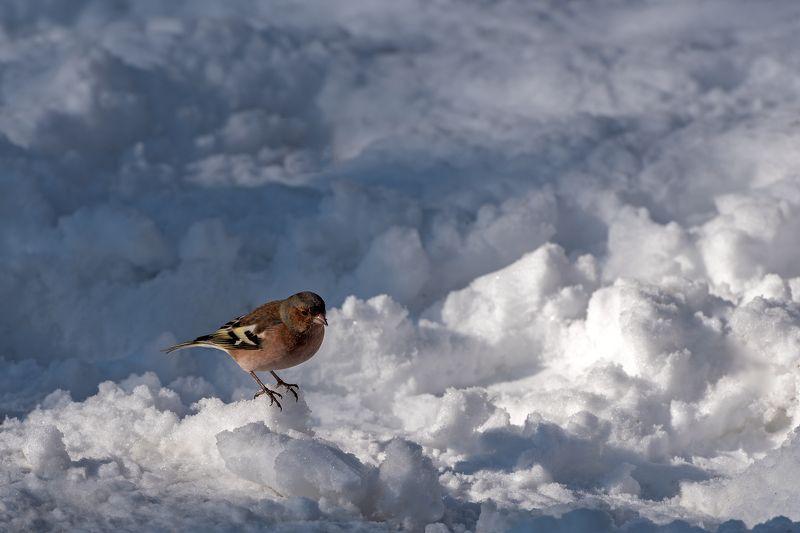 зима, зяблик Зима зяблика или в ожидании весныphoto preview
