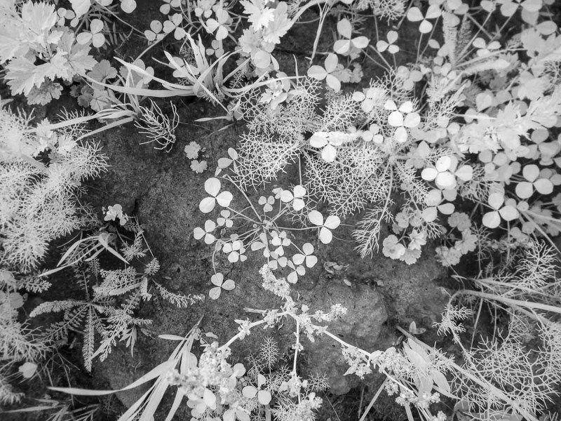 Ладога, лето,  IR, цветы, трава, природа, черно-белое, инфракрасная фотография Ладога. Это лето. IRphoto preview