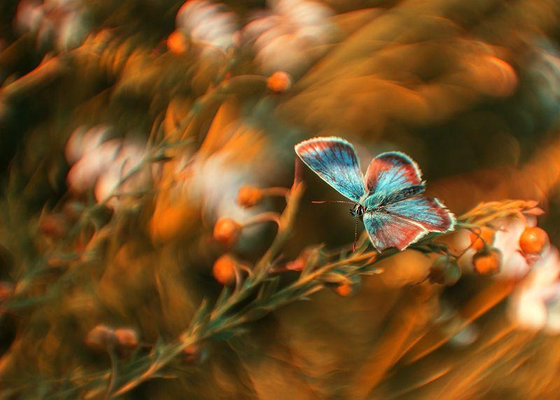 макро, бабочка, голубянка Про бабочкуphoto preview