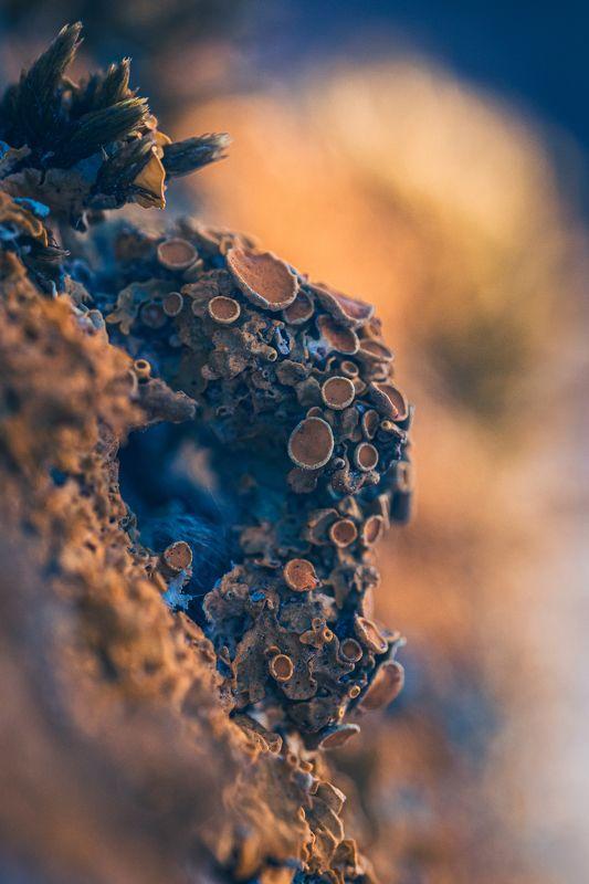 macro lichen flora  Yellow lichenphoto preview