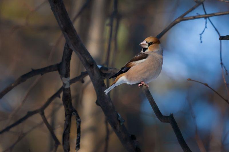 дубонос, hawfinch, Дубонос ждет весну)photo preview