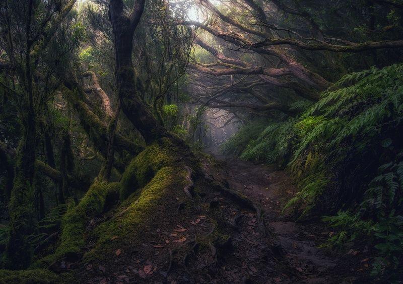 тенерифе, анага, лес, тропинка, джунгли, деревья Там на неведомых дорожкахphoto preview