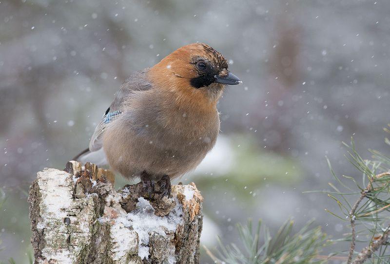сойка,снег,февраль,бор Февральphoto preview