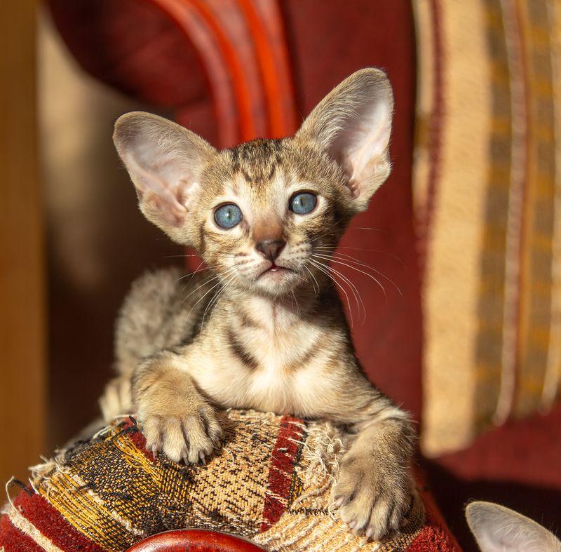 кот, котенок, ориентал С днем кошек и котов!photo preview