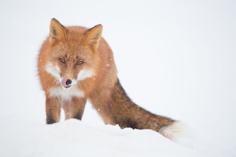 Камчатка, лиса, животные, природа, путешествие, фототур, зима, Тут заяц не пробегал?photo preview