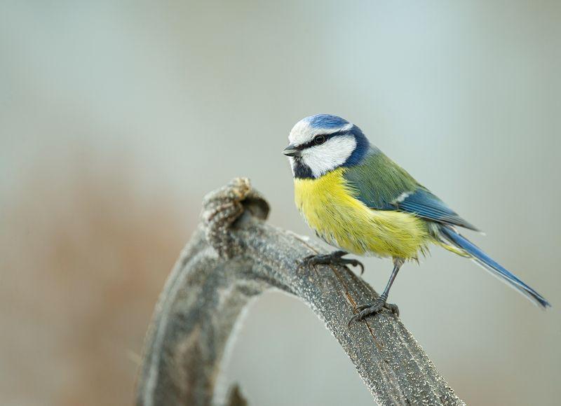 птицы,природа, зима Лазоревкаphoto preview