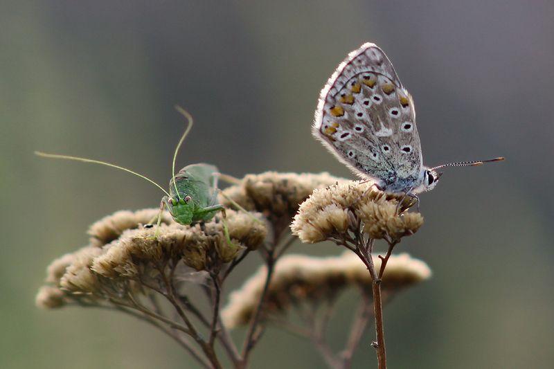 макро, насекомые, бабочка, кузнечик, голубянка, пластинокрыл Не параphoto preview