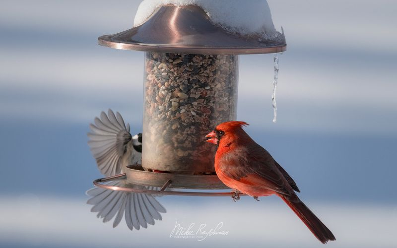 northern cardinal, red robin,  красный виргинский кардинал, black-capped chickadee, черноголовая гаичка, local_wildlife, arlington_club, wheeling, illinois Дикие Местные | Wild Localsphoto preview