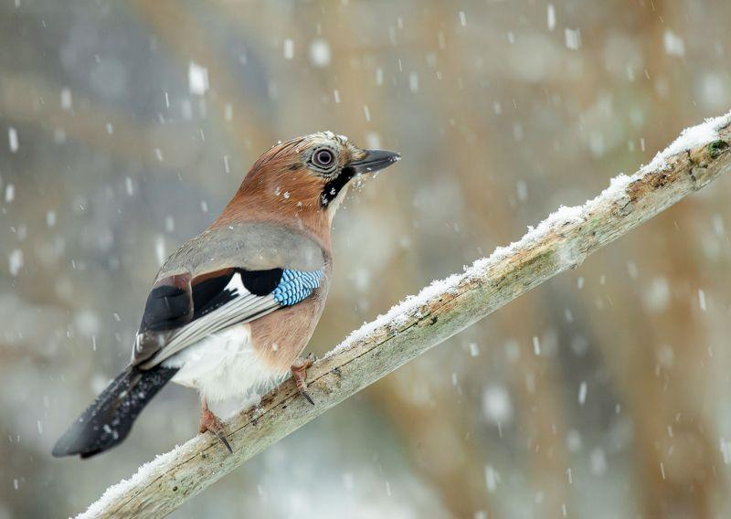 птицы,природа, зима Сойкаphoto preview