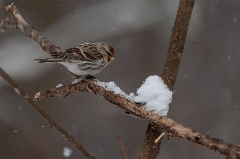songbirds, фотоохота ***photo preview