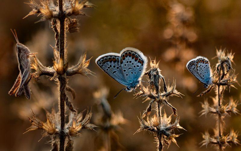 макро, бабочка, голубянка, кузнечик к Боссу на приёмphoto preview