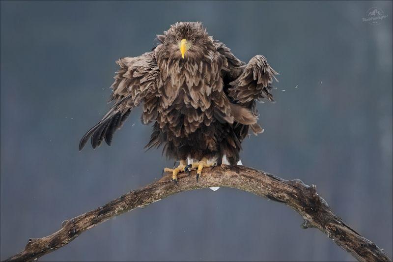 орлан, орлан-белохвост, беларусь, haliaeetus albicilla, white-tailed eagle ANGRY BIRDphoto preview
