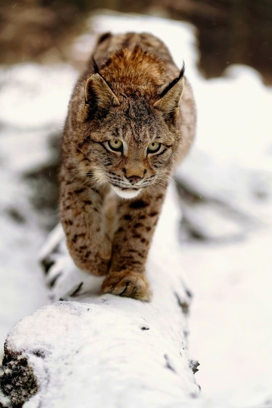#nature #animal #bobcat #lynx #winter #snow #forest Bobcatphoto preview