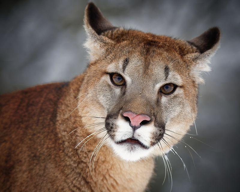 cougar, big cat, detail Cougarphoto preview
