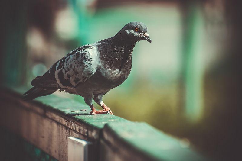 голуби, голубь, крылья, перья, птица, птицы pigeonphoto preview