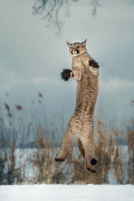 cougar, big cat, jumping Jumpphoto preview