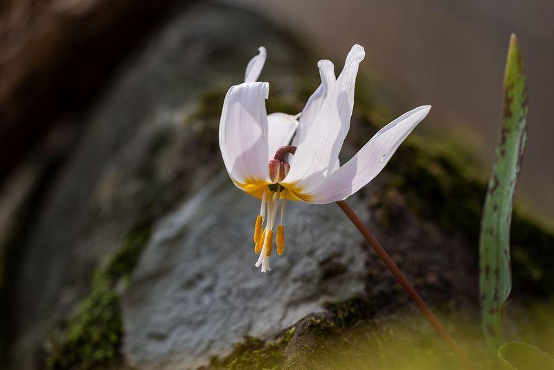 природа, флора, цветы, какндык кавказский Веснаphoto preview