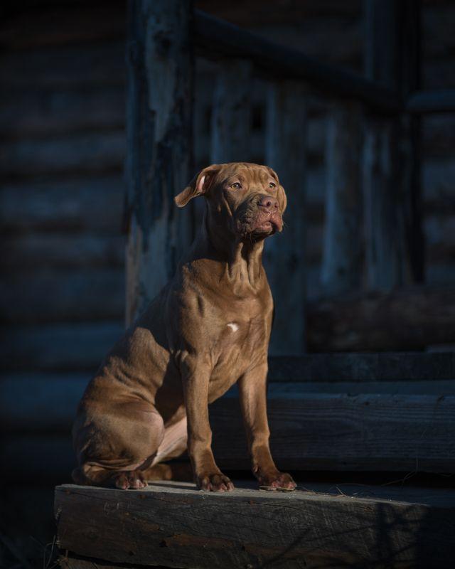 собаки, апбт, великий новгород, питбультерьер Ютаphoto preview