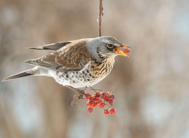 птицы,природа, весна Дрозд рябинникphoto preview